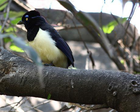 Plush-crested jay on the Tapajos River.