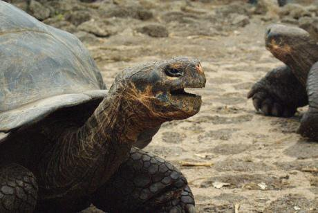 Galapagos tortoises at the Charles Darwin Research Station. Dallas Krentzel/Flickr. Some rights reserved.