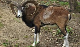 The Mouflon, one of many species of megafauna in Siberia is a large horned sheep.