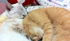 Cat cafe, Tokyo 2010. Hiroshi Otabe/AP/Press Association Images. All rights reserved.